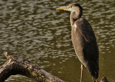 Volavka na Divokém rybníku
